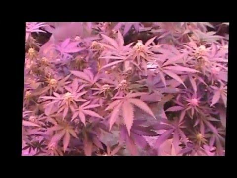 Mixed LED ,Yield  Lab Metal Halide room 3 weeks into Flowering