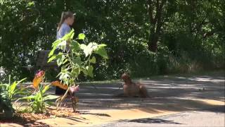Franklin (vizsla) Dog Training Demonstration