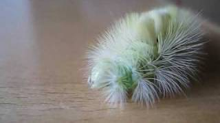 múm - the ballad of the broken birdie records (ruxpin remix II) starring a pale tussock moth