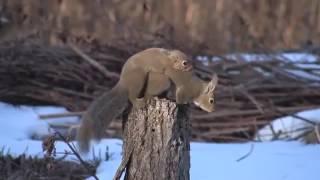 Спаривание животных, Crazy Squirrel MatingBreeding, размножение животных
