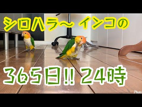 [シロハラインコ] 365日放鳥24時‼︎ Caique/Pionites
