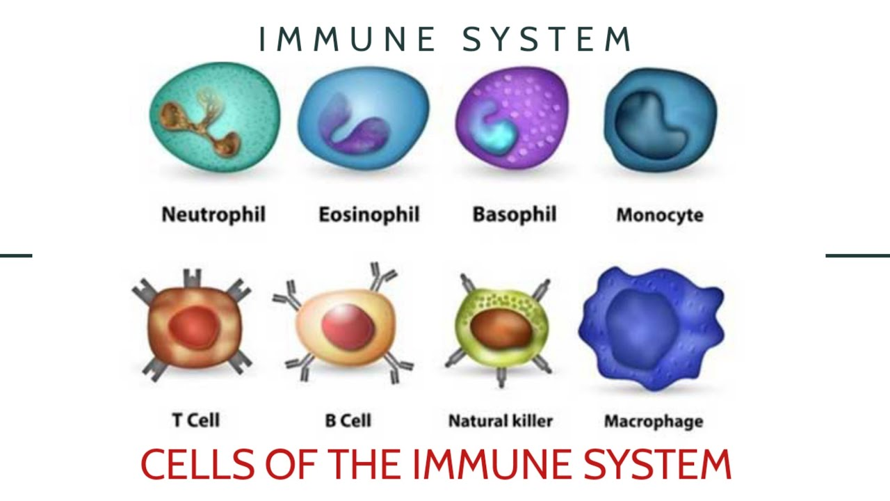 The immune system overview. Types of cells and its functions ...