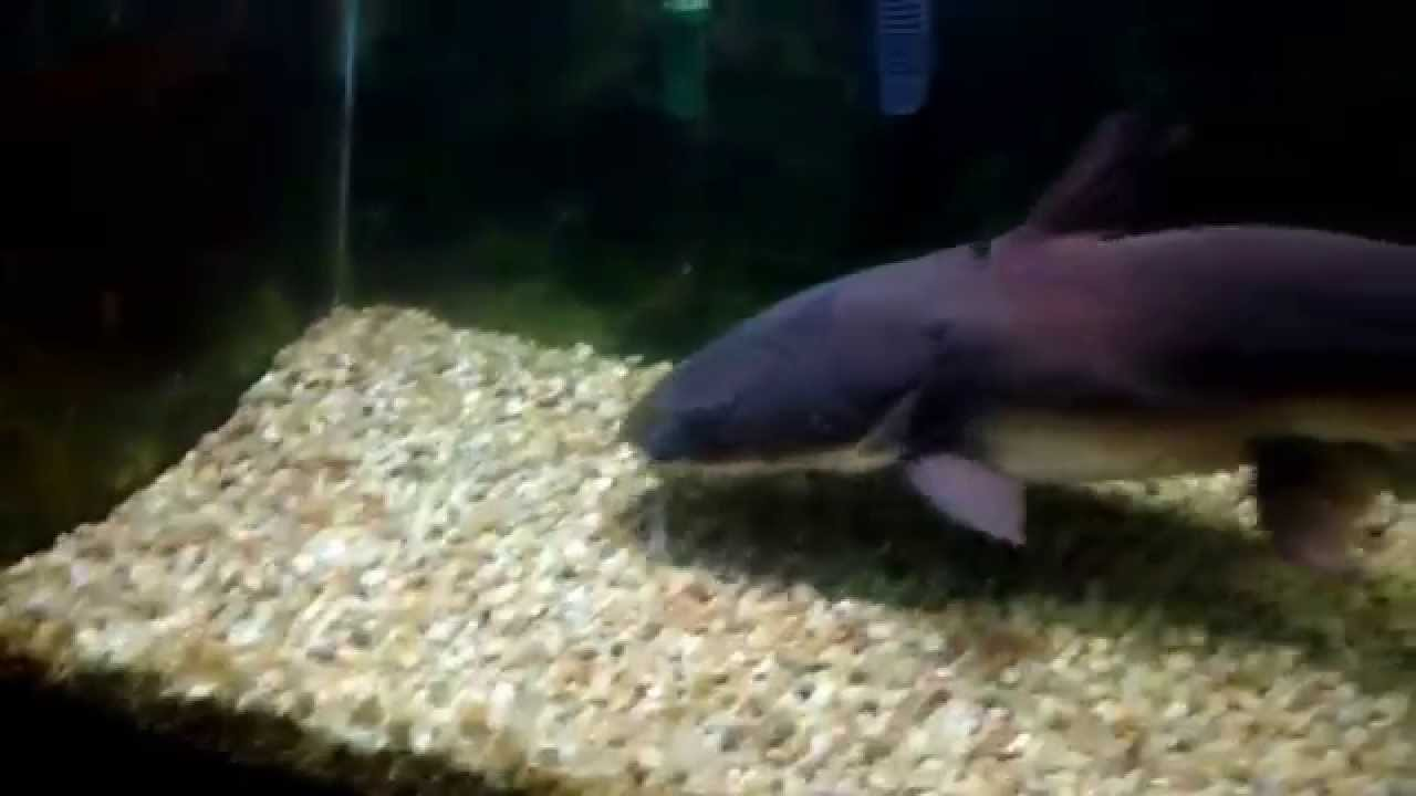 Mr. Limpet, 25 year old Columbian Shark Catfish - YouTube