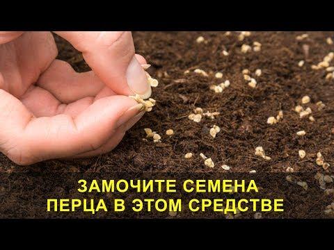 Замочите Семена Перца в Этом Средстве, Всхожесть и Прорастание Семян 100{ff4c871d92cfe82baeab86ff0755de06ffdd0c7ac45b4ba0d5c4942f0e923e97}