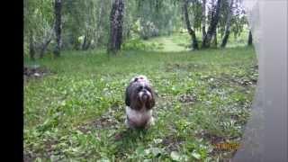 Shih Tzu Dog Rina It Resting In Nature