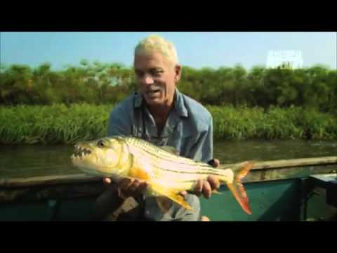 Fearsome Tigerfish Hunt in Packs _ River...