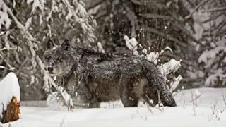 DOKU: Wilde Wölfe und Luchse in Europa