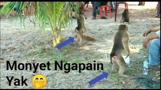 Lomba Beruk/Monyet Petik Kelapa Dalam Rangka Festival Pesona Gandoriah Kota Pariaman