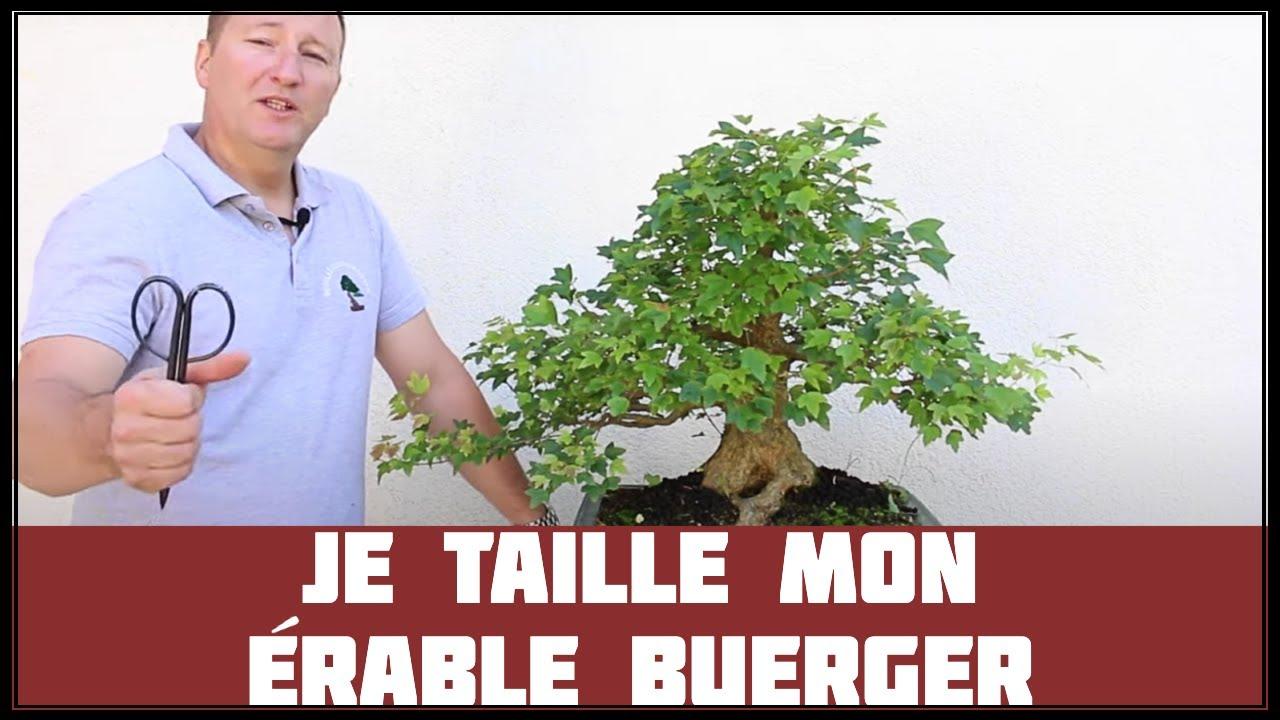 La taille de l 39 rable buerger youtube - Comment tailler un erable ...