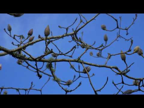 Pruning Magnolia Burncoose Nurseries Youtube