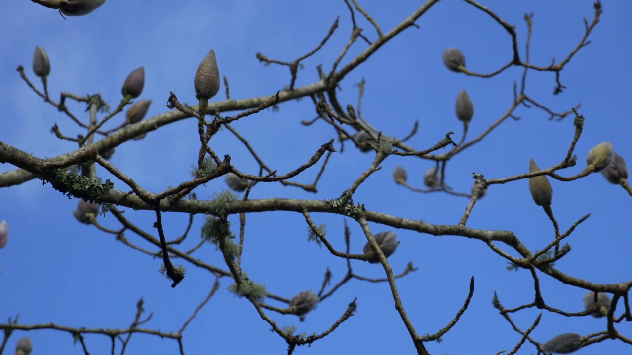 Pruning Magnolia Burncoose Nurseries Youtube