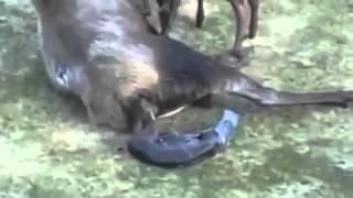 Maman Moose accouche de jumeaux!
