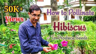 How to Pollinate  Hibiscus and Produce Seeds