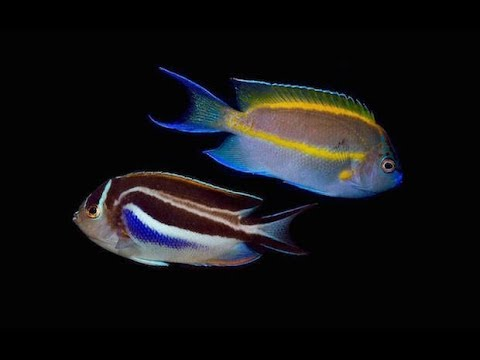 Reefs.com Let's Talk About Fish! : Bellus Angelfish