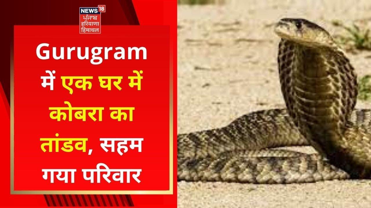 Download Gurugram में एक घर में कोबरा का तांडव, सहम गया परिवार   News18 Haryana