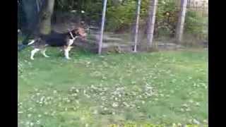Beagle Harrier Au Ferme Golsy 2 Mois