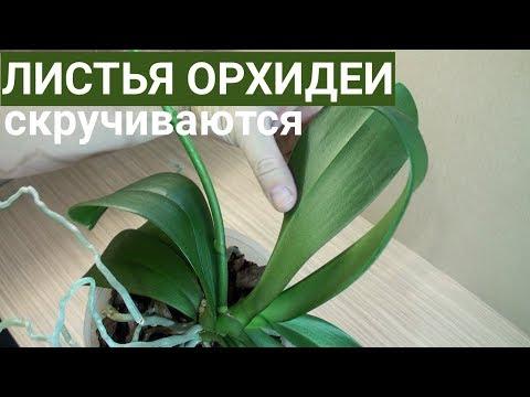 листья ОРХИДЕИ скручиваются ОСНОВНАЯ ПРИЧИНА