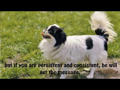 The Japanese Spaniel is a dog that is meant solely as a companion to humans