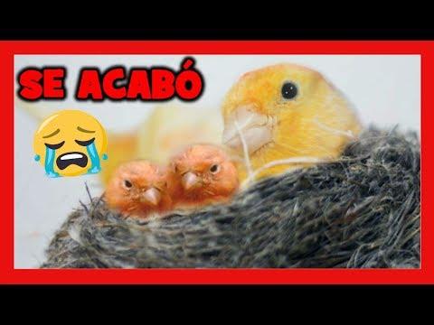 SE ACABO El CRIAR CANARIOS 😥 ADIOS A LA CRIA DE CANARIOS | CRIA DE CANARIOS