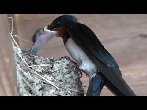 ツバメの赤ちゃん 食事 Mother Bird Feeding Baby Birds