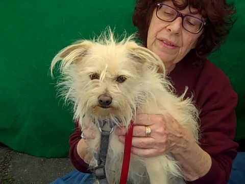 A4383185 Pancho | Norfolk Terrier/Cairn Terrier