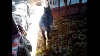 Кот без хвоста