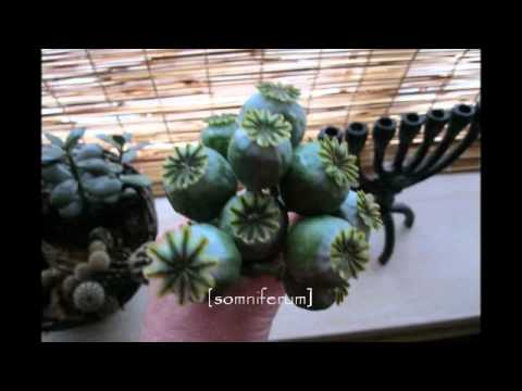 Papaver Somniferum  - {Opium Poppy} & Orientalis -[some of my favourite plants and flowers].