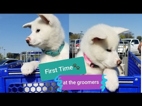 Akita puppies/ First Time at the Groomers