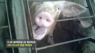 Investigação da MFA revela extremo sofrimento animal em fornecedor da JBS EUA