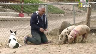 Cesar Millan rehabilitates Simon the aggressive French bulldog terrier mix