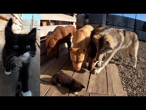 Еще одно знакомство котенка с хищниками обернулось .... спасением котенка. Волкособ/ВОлк.