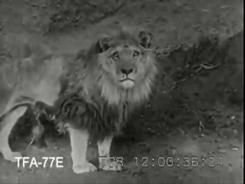 Лев против Тигра реальный бой (1946) / Lion vs tigers real fight