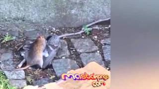 VIDEO. Rat Kill Pigeon in New York Street | Rat Tue Un Pigeon | Rat matar em Pigeon