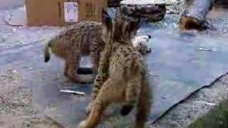 iberian lynx cubs