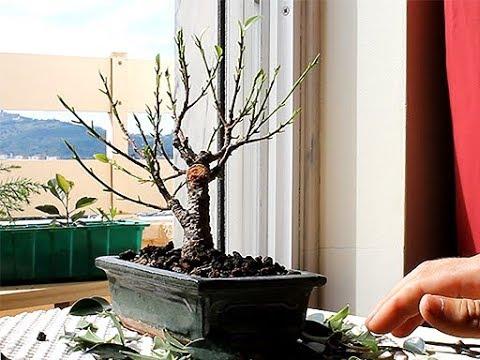 Ficus Retusa Bonsai Defoliation June 2018 Small Balcony Bonsai Youtube