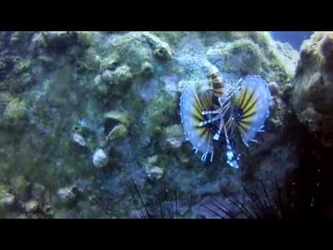 Diving Vietnam: Lion Fish - Cham Island diving - Hoi An