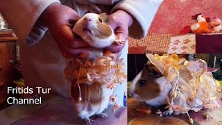 Amusing Zoology - How to determine the sex of a Guinea pig