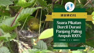 Download PIKATAN BURCIL DURASI PANJANG AMPUH