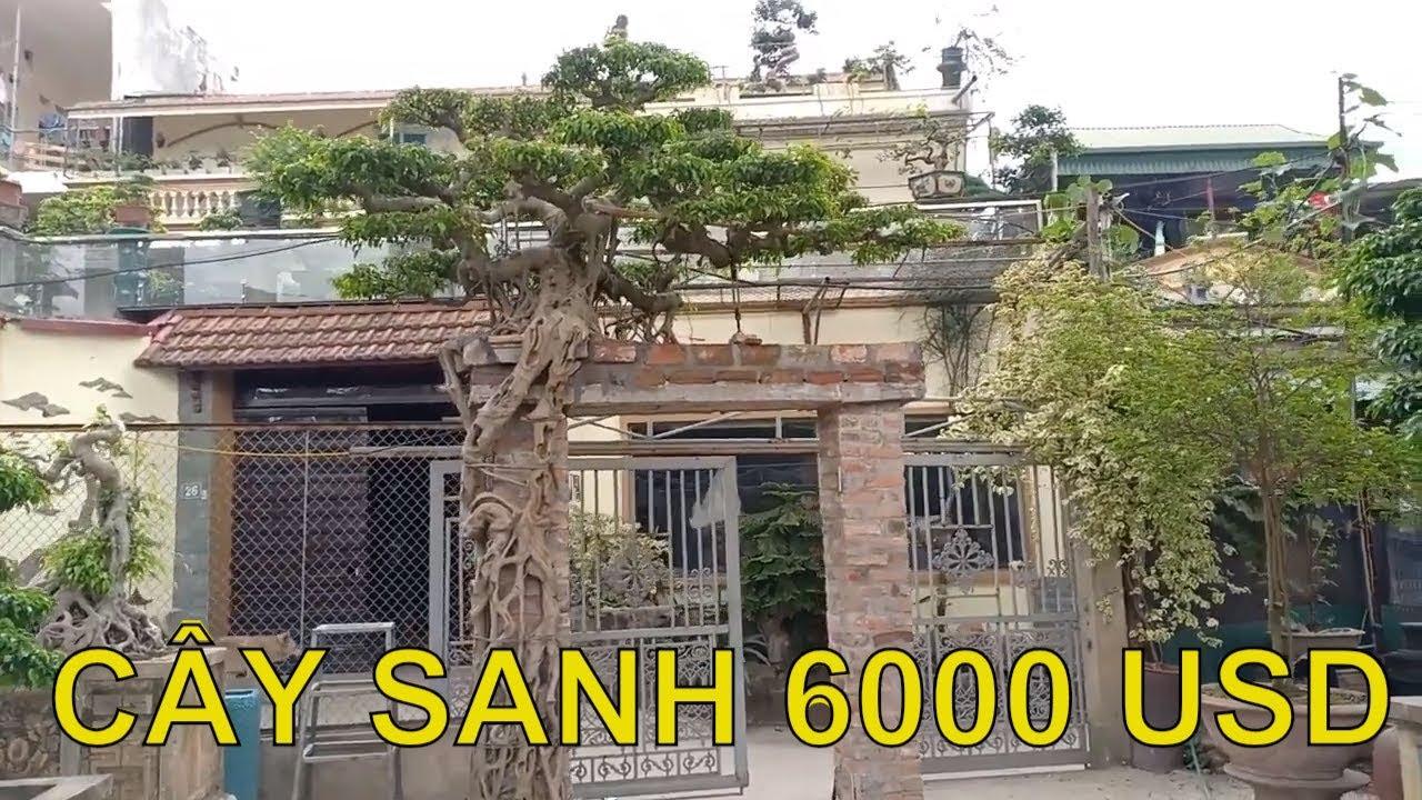 Thực hư Cây sanh cổ bán kèm cổng nhà giá 6.000 USD
