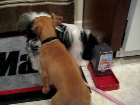 shih tzu feeding puppy feeding time pitbull and shih tzu pomeranian mix 4996