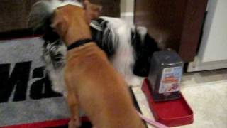 Puppy Feeding Time Pitbull And Shih Tzu Pomeranian Mix
