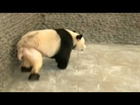 Belated Fame for Giant Panda Stripped of Pants