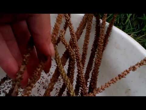 Семена подорожника созрели.