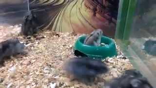 Crazy Back Flipping Hamster