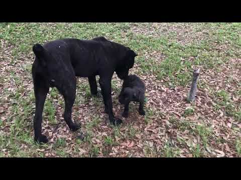 the-last-of-the-giants-cane-corso-puppy-update-training-tips-too