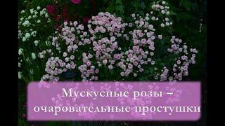 Мускусные розы - очаровательные простушки