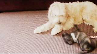 Oscar The Cairn Terrier Vs Lilly The Wheaten Terrier