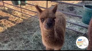My Daily life | Baby Alpaca Stella