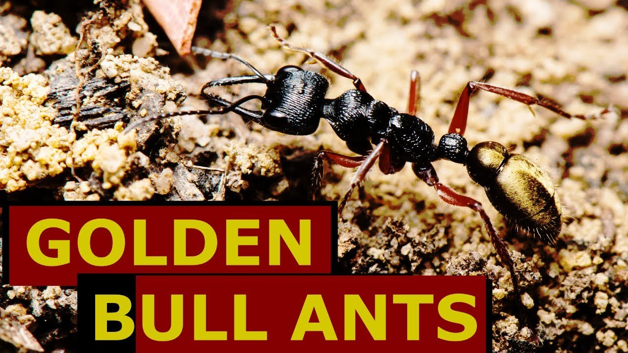the golden bull ant is amazing youtube