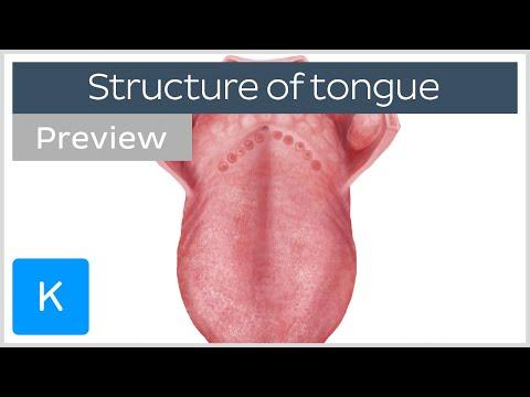 Surface anatomy of the tongue (preview) - Human Anatomy |Kenhub